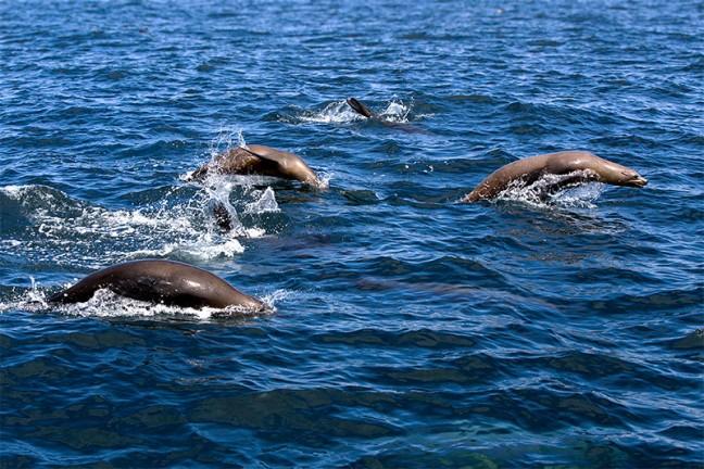 Whale watching at Moss Landing: Californian sea lions