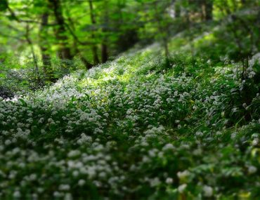Diagnosing Lyme Disease, why is it challenging? Photo shows white flowers growing in a forest.